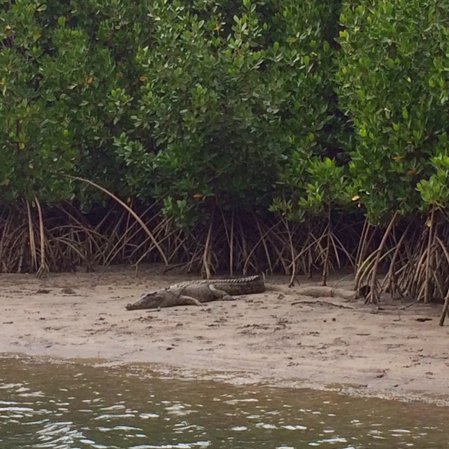 Crocodile in Cape Tribulation