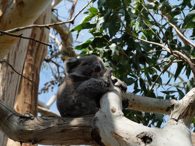 Cucciolo di Koala